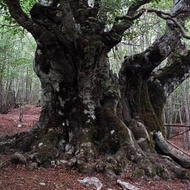 Le foreste di faggio si candidano a diventare Patrimonio Mondiale dell'Unesco