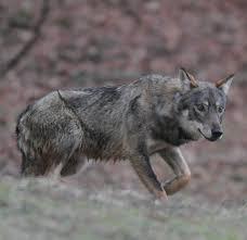 Ancora un lupo ucciso nei Sibillini