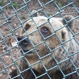 L'orso Sandrino trasferito a Pescasseroli per curarsi