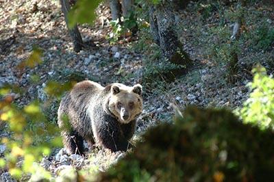 Sono 11 i cuccioli di orso marsicano nati nel 2014 (e forse 13)