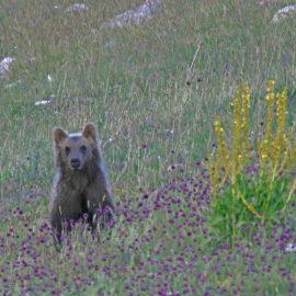 L'orsetta Morena pronta al rilascio in natura