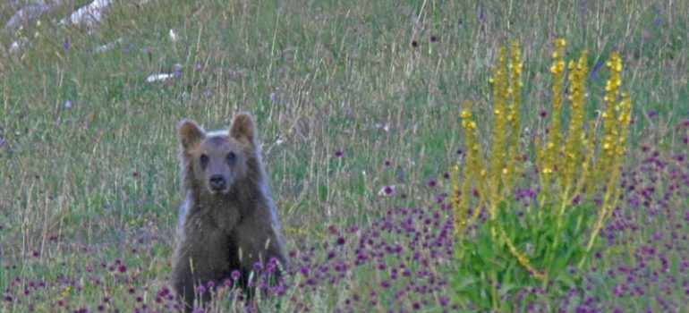 Majella: un'ordinanza per proteggere gli orsi.