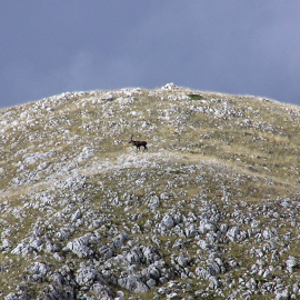 Cervi al monte del Campitello