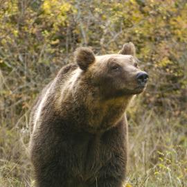 L'orso continua a frequentare l'Alto Molise