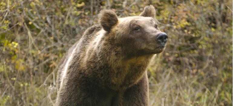 E' morto Sandrino, l'orso simbolo del Parco d'Abruzzo, Lazio e Molise