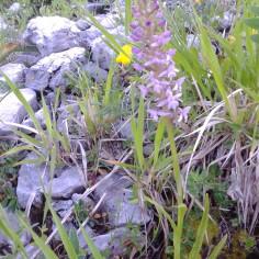 orchis conopsea _manina rosea_